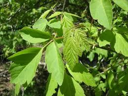 Boxelder maple