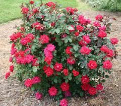 Image result for red rose sharon