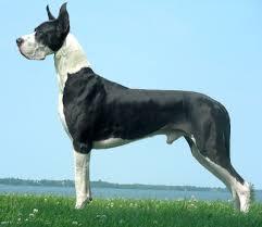 Ποιοι σκύλοι υποφέρουν από νόσο του Μυοκαρδίου;