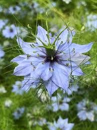 Nigella damascena, un fiore dal colore del cielo - Natura in mente ...