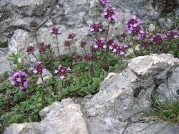 Thymus praecox - Wikipedia
