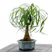 ponytail plant in bonsai pot bonsai tree office table