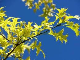 Risultati immagini per foglie estate sughero