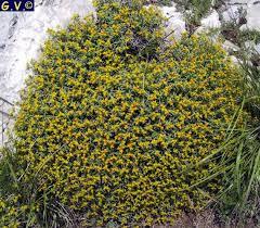 Euphorbia spinosa: euforbia spinosa