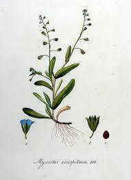 File:Myosotis caespitosa — Flora Batava — Volume v8.jpg ...
