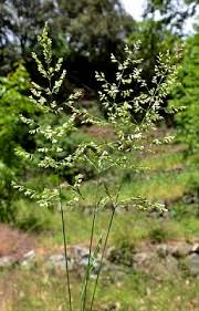 Poa sylvicola   Flora of Cyprus — a dynamic checklist