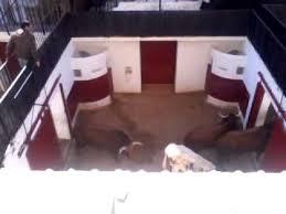Resultado de imagen de imagenes de toros en los corrales de la plaza de las ventas