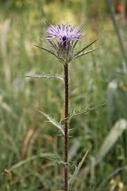 Carthamus caeruleus, flora di Sardegna
