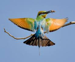 Image result for bee-eaters