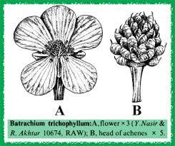 Batrachium in Flora of Pakistan @ efloras.org