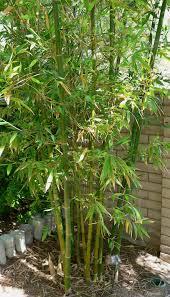 Bambusa - Wikipedia