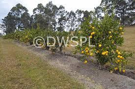 lemon tree x: stock photo image fruit citrus fruit citrus fruits citrus meyeri