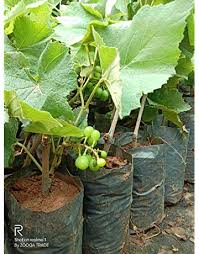 Fruit & Fruit Trees: Buy Fruit & Fruit Trees Online at Best Prices <b>in</b> India