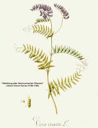 Vicia cracca - Online Virtual Flora of Wisconsin