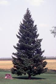 Pinaceae - Wikipedia
