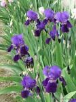 iris plant