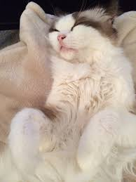 bailey i m as soft as a little bunny rabbit sleeping ragdoll bailey i m as soft as a little bunny rabbit sleeping