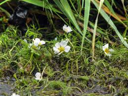 Ranunculus circinatus - Wikipedia