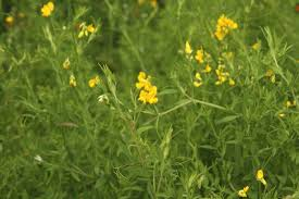 Lathyrus pratensis - Michigan Flora