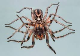 Wolf Spider Facts - Pest Control, Facts & Information | pest-