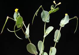 Coronilla scorpioides (L.) W.D.J.Koch | Flora of Israel Online