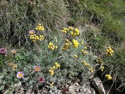 Artemisia glacialis - Wikipedia, la enciclopedia libre