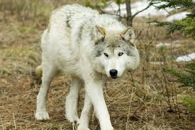 Book Review: 'The <b>Wisdom of Wolves</b>: Lessons From the Sawtooth ...