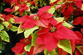 Caring for Poinsettia | Malamalama, The Magazine of the University ...