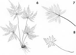 Chromosome Numbers and Apomixis in the Fern Genus Bommeria ...