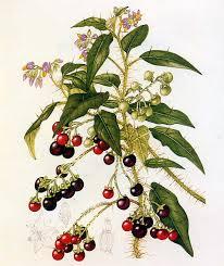 Flora of Australia, Volume 29, Solanaceae