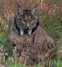 معلومات عن حيوان الوشق images?q=tbn:ANd9GcS