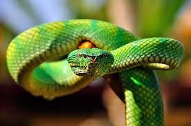 Image result for green viper