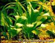 samolus parviflorus
