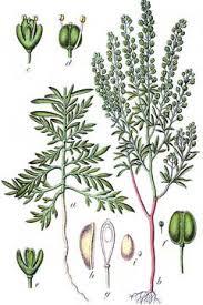 Lepidium ruderale Narrow Leaved Peppergrass, Rroadside ...