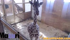 Image result for april the giraffe live cam