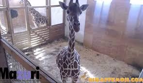 Image result for april the giraffe live cam