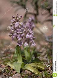 Orchis lactea stock image. Image of flora, white, botanical - 15606639