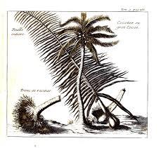 botanical tree coconut palm vintage art prints botanical tree coconut palm