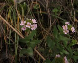Aethionema saxatile - Wikipedia, la enciclopedia libre