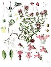 Thymus serpyllum - Wikipedia
