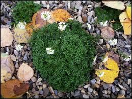Hornungia (Hutchinsia) alpina 'Icecube' - Favorite Plant