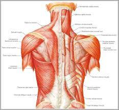 back muscle diagram   anatomy human bodyback muscle diagram back muscle diagram human anatomy diagram