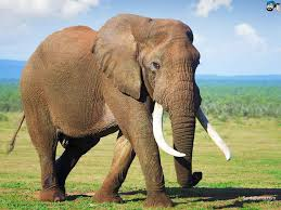elephant essay essay on the elephant shooting an elephant essay an essay on the elephant for school students