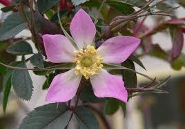Rosa glauca (Redleaf Rose)