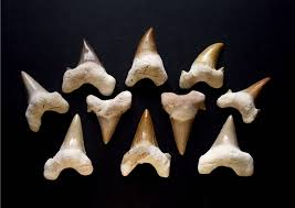 shark teeth vs human teeth fr dental budapest