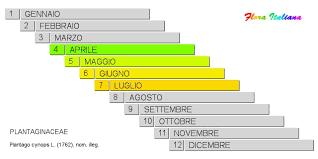 Plantago cynops [Piantaggine legnosa] - Flora Italiana