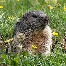 Image result for groundhog pictures