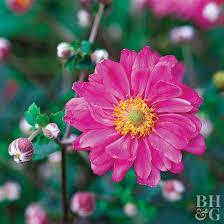 Anemone   Better Homes & Gardens