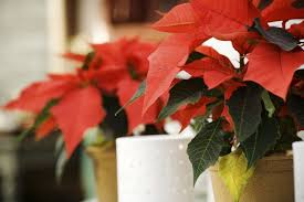 Happy Poinsettia Day! | Massey Services, Inc.