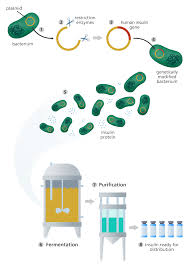 what is genetic engineering facts yourgenome org illustration showing how genetic modification is used to produce insulin in bacteria